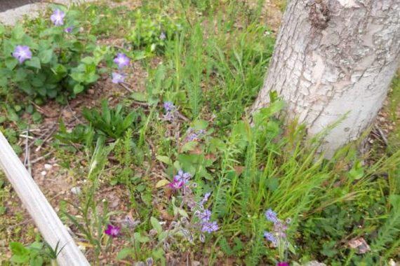 Plantation pieds d'arbres : bourrache, lin, nielle